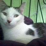 Mausi, eine deutsche Fundkatze, die in ihrem Happy Home nun Mimi heißt