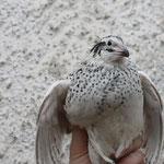 Perl-Fee Henne