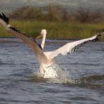 Flugschau eines Pelikan auf dem Abaya - See.