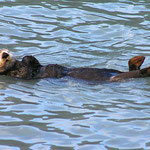 Seeotter im Kenai-Fjord bei Seward, welche im Wasser spielen, als kämen sie gerade aus dem Zirkus.