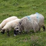 Schafe an der Westküste.