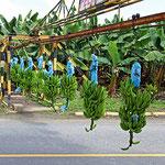 Bananenstauden auf dem Weg von der Plantage zum Versand. Dabei geht es quer über die Straße. Bei Bedarf wird die Tranportschiene geschlossen und der Verkehr muss warten.