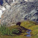 Schwarzer Grisly beim Exit-Gletscher nahe Seward