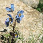 Hier findet man noch - wenn auch recht selten - den blauen Scheinmohn, die Nationalblume des Zanskar.