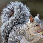 """""""Eichhörnchen"""" in Guatemala"""