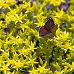 Der Scharfe Mauerpfeffer am Fuße der Dünen hat Besuch von einem Schmetterling.