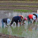 Bei Dali wird Reis ausgepflanzt.