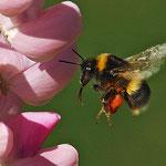 Fleißig beim Pollen sammeln.