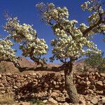 Blütenpracht in der steinigen Bergwüste des Sinai.