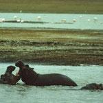 Flusspferde im Pool.