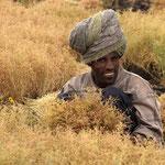 Teff-Ernte mit der Sichel. Teff ist ein Getreide, aus dem die Masse für das Injera-Fladenbrot gemacht wird.