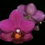 Orchidee auf unserer Fensterbank, fotografiert mit Ringblitz.