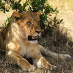 Safari im Masai - Mara Nationalpark.