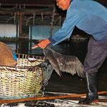 ..... stattdessen liefern sie den gefangenen Fisch bei ihrem Fischer ab, der letztlich im Korb landet.