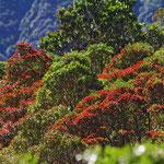 """Beim Franz - Josef - Gletscher stehen die """"Christmas - Trees"""" in voller Blüte."""