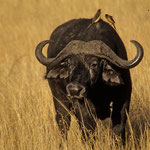 Safari im Massai - Mara Nationalpark.
