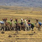 Zelte und Ausrüstung wird von Lamas transportiert.