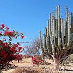 Riesige Kakteen auf dem Weg von Puebla nach Oaxaca