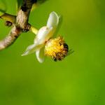 Apis mellifera L. 1759 sur Mammea americana L. (Abricot pays) ; Photo : C.P