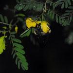 Xylocopa fimbriata Fabricius, 1804 sur Chamaecrista glandulosa (L.) Greene ; Photo : E.D-M