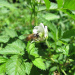 Apis mellifera L. 1759 sur Rubus rosifolius Sm. (Framboise) ; Photo : E.D-M
