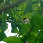Coereba flaveola (Linnaeus, 1758) (Sucrier) sur Acnistus arborescens L. ; Photo : C.P