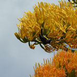 Coereba flaveola (Linnaeus, 1758) (Sucrier) sur Agave sp.; Photo : E.D-M