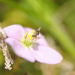Lasioglossum (Dialictus) sp. sur Pterolepis glomerata (Rottb.) Miq. ; Photo : C.P