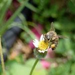 Apis mellifera L. 1759 sur Tridax procumbens L.  ; Photo : M-C.L