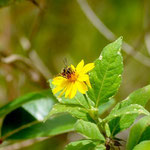 Melissodes martinicensis Cockerell, 1917 sur Wedelia calycina L.C. Rich. ; Photo : C.P