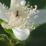 Lasioglossum (Dialictus) sp. sur Psidium guajava L. ; Photo : C.P