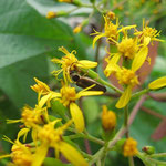 Photinus sp. sur Senecio lucidus (Sw) DC. ; Photo : E.D-M