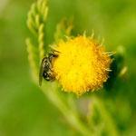 Lasioglossum (Dialictus) sp. sur Acacia sp. ; Photo : C.P