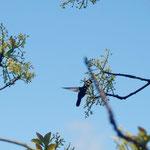 Orthorhyncus cristatus(Linnaeus, 1758) (Colibri Huppé mâle) sur Persea americana Mill. (Avocatier); Photo : C.P