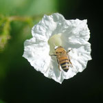Apis mellifera L. 1759 sur Merremia aegyptia (L.) Urb. ; Photo : C.P