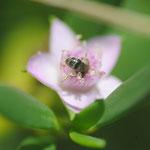 Lasioglossum (Dialictus) sp. sur Sesuvium portulacastrum L. ; Photo : C.P