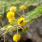 Pachodynerus sp. sur Vachellia nilotica (L.) P. J. H. Hurter & Mabb (Akasya)  ; Photo : C.P