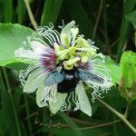 Xylocopa fimbriata Fabricius, 1804 sur Passiflora edulis Sims (Maracuja) ; Photo : E.D-M