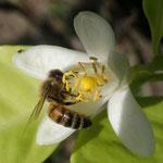Apis mellifera L. 1759 sur Citrus sp. (Agrume) ; Photo : M-C.L