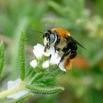 Centris sp. sur Euploca ternata (Vahl) J.I.M. Melo & Semir.  ; Photo : C.P