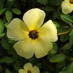 Apis mellifera L. 1759 sur Turnera subulata Smith ; Photo : E.D-M
