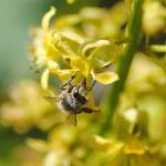 Apis mellifera L. 1759 sur Caesalpinia bonduc (L.) Roxb. ; Photo : C.P