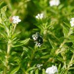 Megachile luctifera Spinola, 1841 sur Euploca ternata (Vahl) J.I.M. Melo & Semir, 2009; Photo : C.P