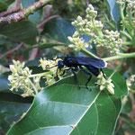 Pepsis grossa (Fabricius, 1798) (Guêpe bleue) sur Persea americana Mill. (Avocatier) ; Photo : E.D-M