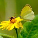 Pyrisitia venusta (Boisduval, 1836) sur Wedelia sp.; Photo : E.D-M