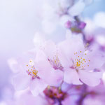 Sweet cherry blossom....