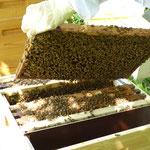 Blick in den Bienenkasten