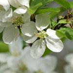 Biene mit Kirschblüten