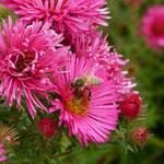 Astern mit Biene