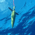 A sea-glider at work. Photo: D. Wisdom, AIMS